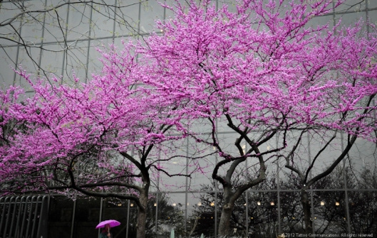 Redbud in the rain