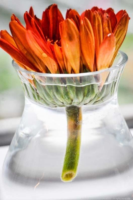 still life daisy