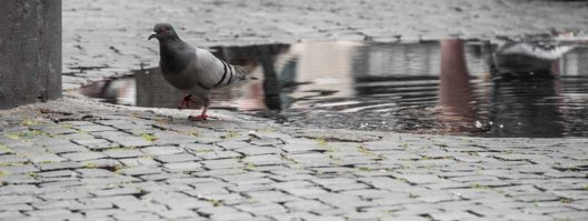 Puddle Pidgeon